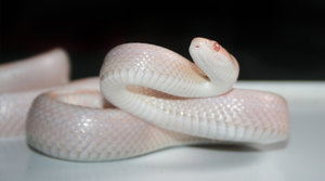 corn snake aggressive