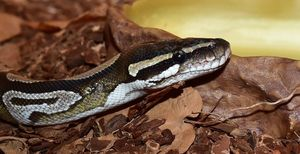 What Humidity Do Ball Pythons Need
