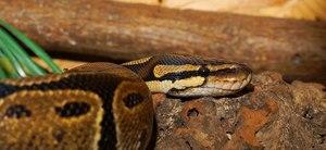 ball python tank