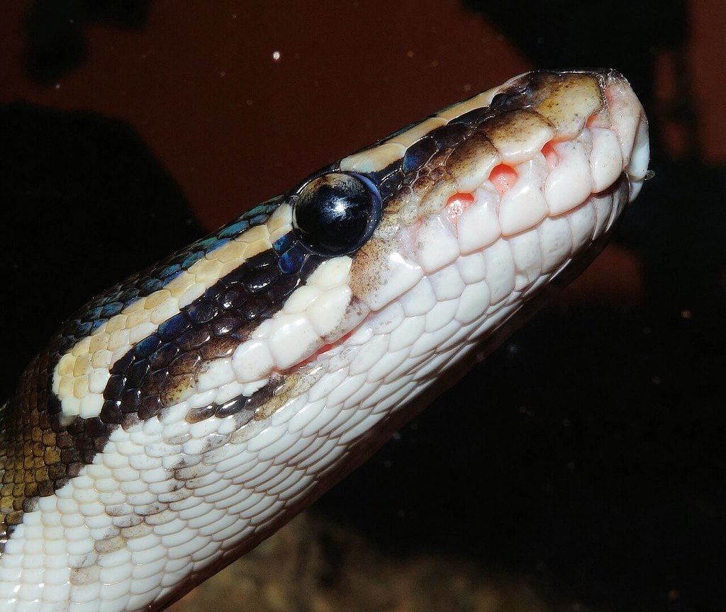 Do ball pythons shed