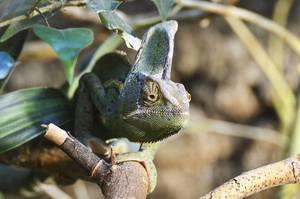 veiled chameleon humid