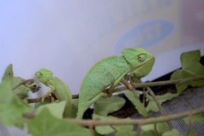 veiled chameleon size