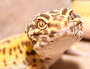 do leopard geckos need uvb