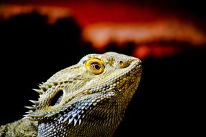 bearded dragon changes colors