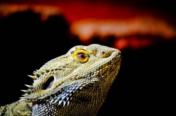 Why Do Bearded Dragons Turn Black Here Is The Real Reason
