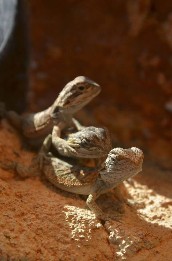 why do bearded dragons wave