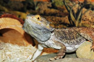 Bearded dragon is waving all the time