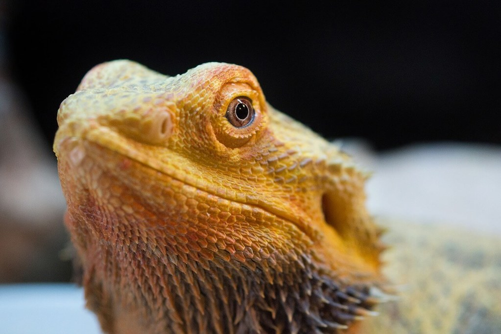 How to treat tail rot in bearded dragons