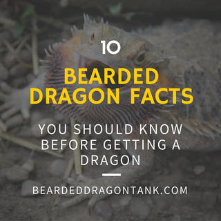 bearded dragon facts