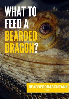 What To Feed A Bearded Dragon