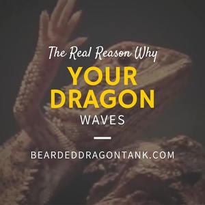 Bearded Dragon Wave