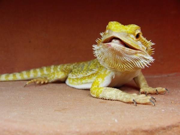 Bearded Dragon Fact
