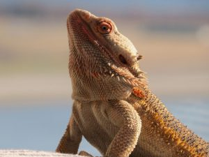 why is my bearded dragon acting aggressive