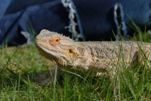 What to do if my bearded dragon is aggressive