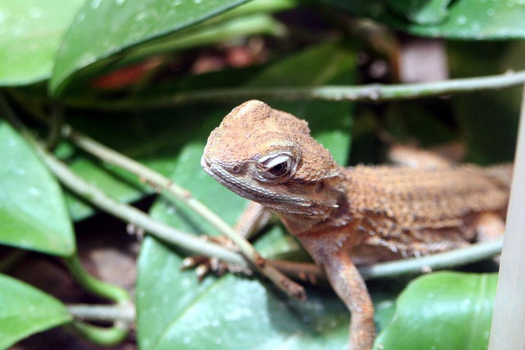 Baby Bearded Dragon