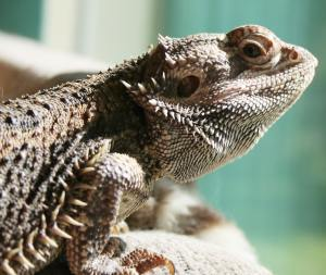 What is a bearded dragon