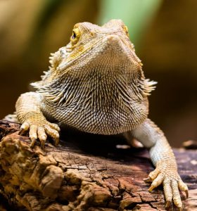 hot to tell if my bearded dragon has metabolic bone disease