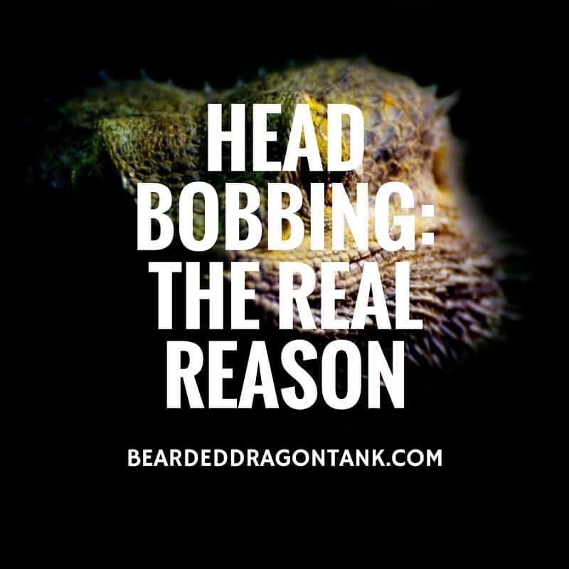 Bearded Dragon Head Bobbing