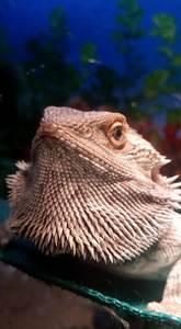 bearded dragon hammocks