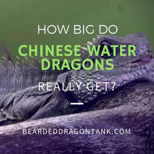 How Big Do Chinese Water Dragons Get