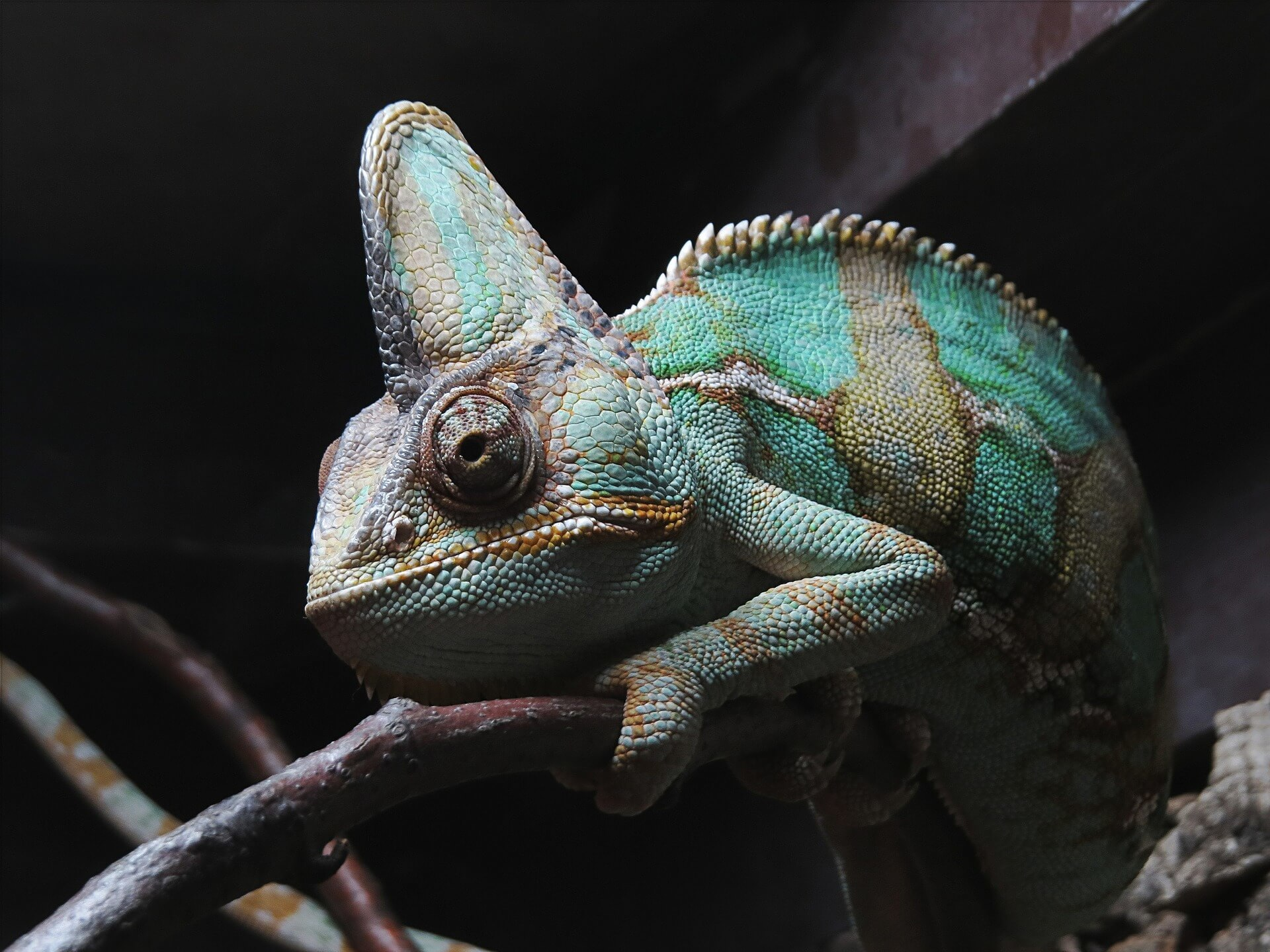 what do veiled chameleons eat