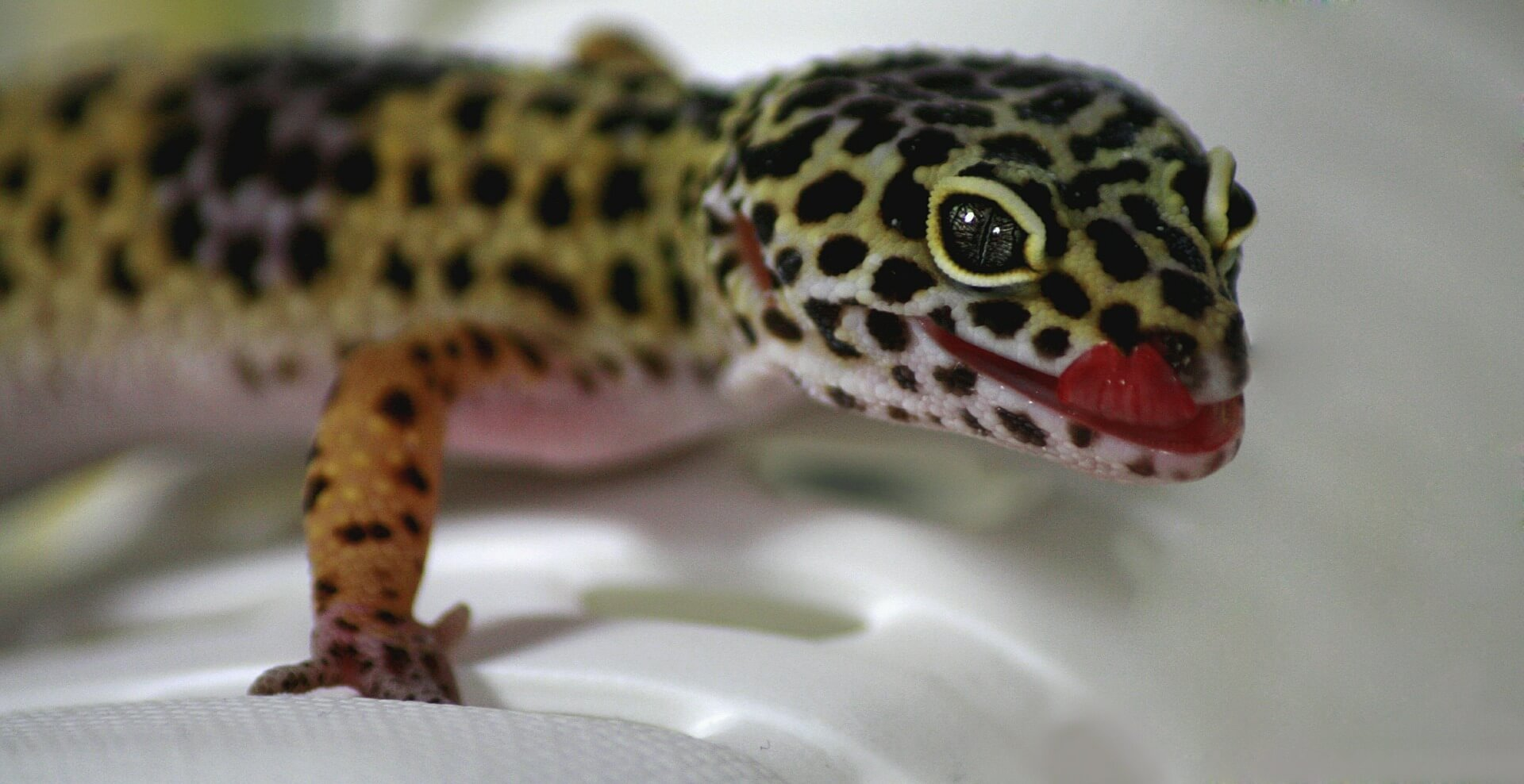 how to care for leopard geckos