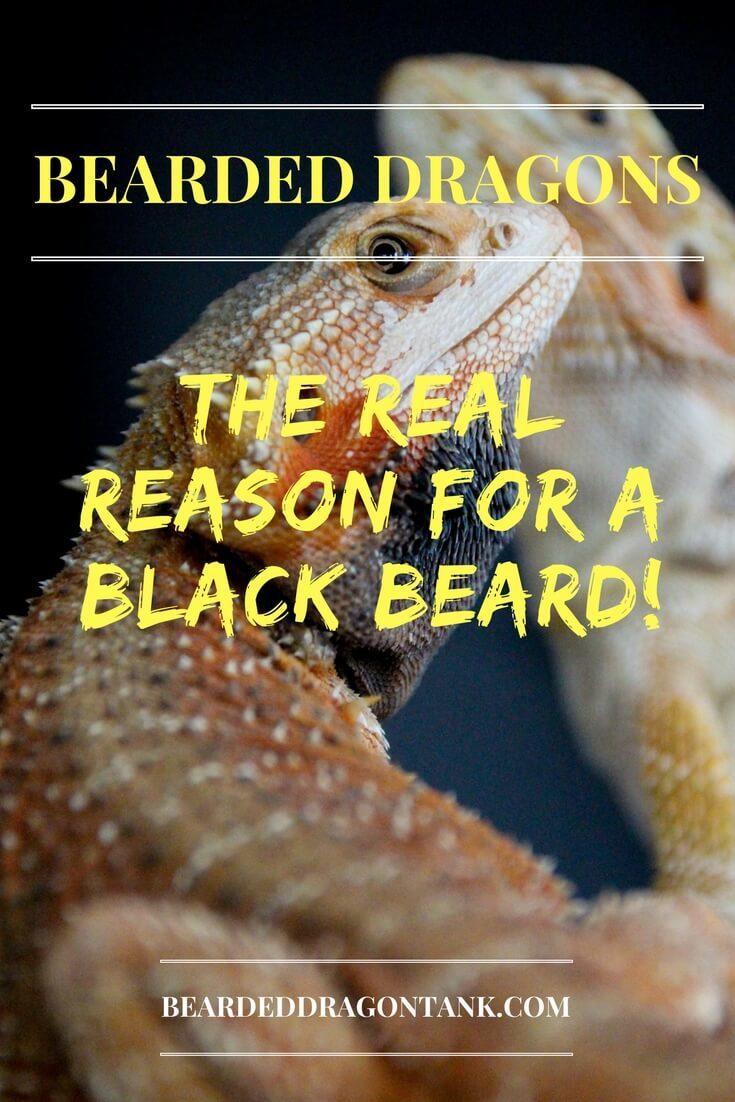 Bearded Dragons Black Beard