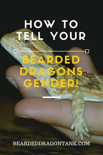 How To Tell Your Bearded Dragons Gender