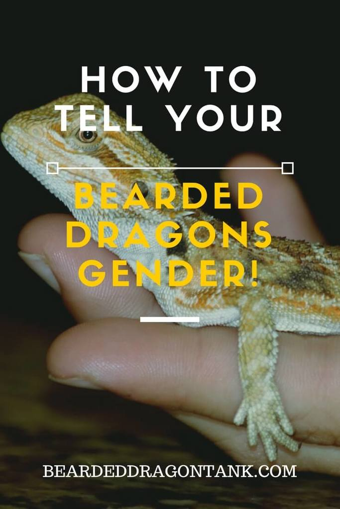How To Tell A Bearded Dragon´s Gender – Two Easy Methods