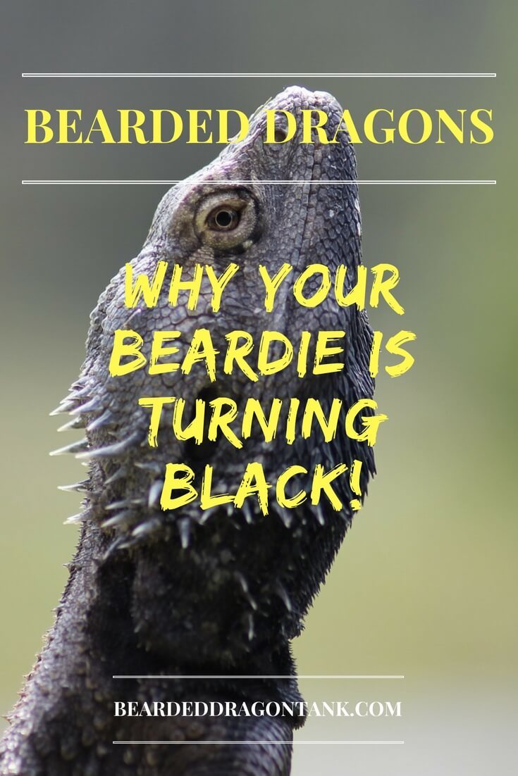 Bearded Dragon Is Completely Black