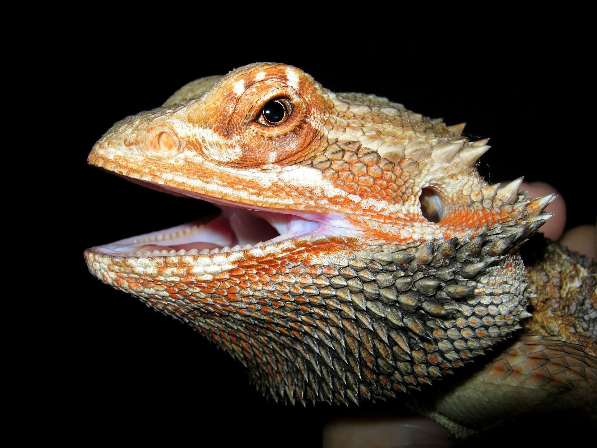 aggressive bearded dragon