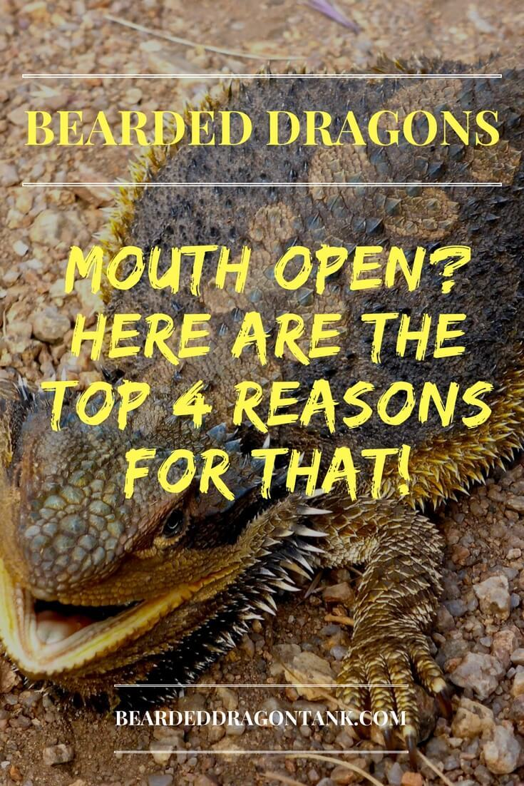 Bearded Dragon Mouth Open