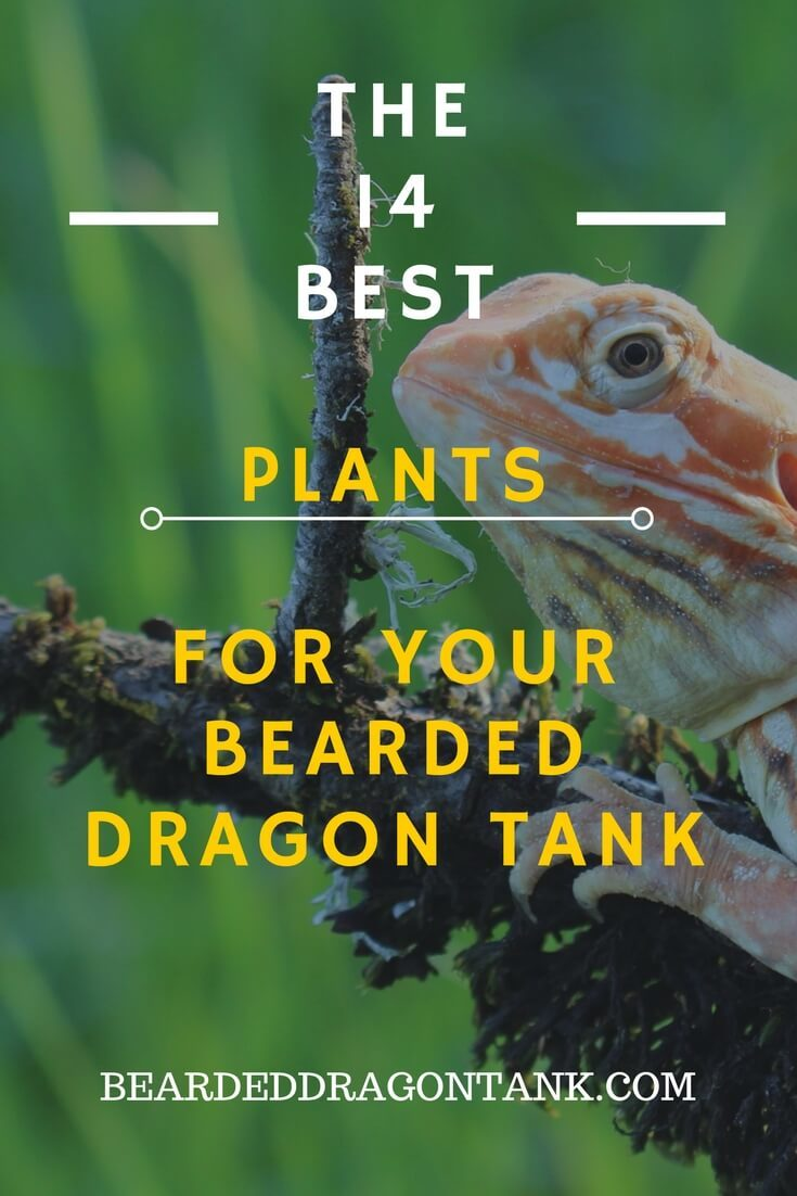 14 Awesome Bearded Dragon Plants You Can Use For Your Tank Bearded Dragon Tank