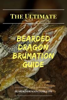 Bearded Dragon Brumation