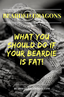 What To Do With A Fat Bearded Dragon