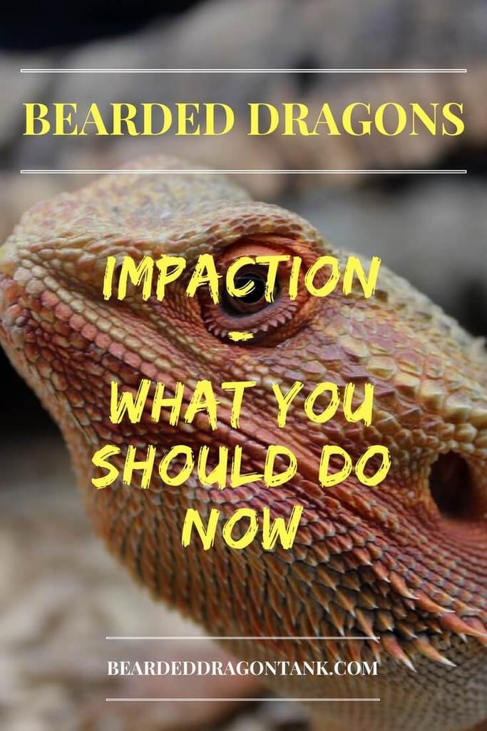 Bearded Dragon: Impaction – What You Should Do Now | Bearded