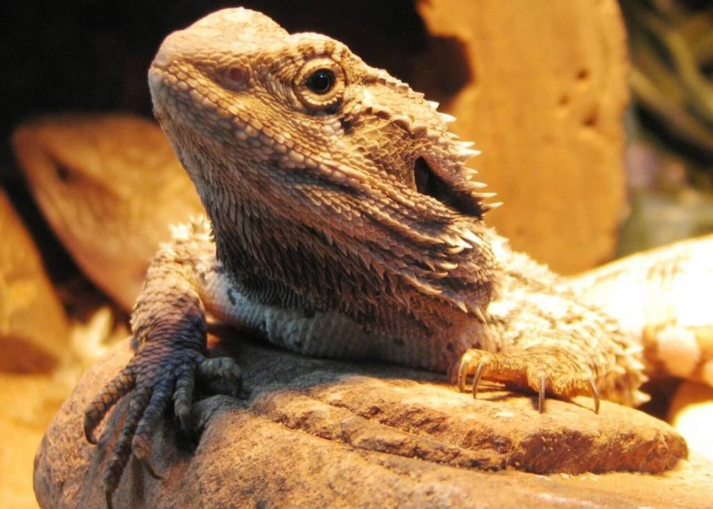 How long do bearded dragons hibernate