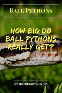 How Long Do Ball Pythons Get