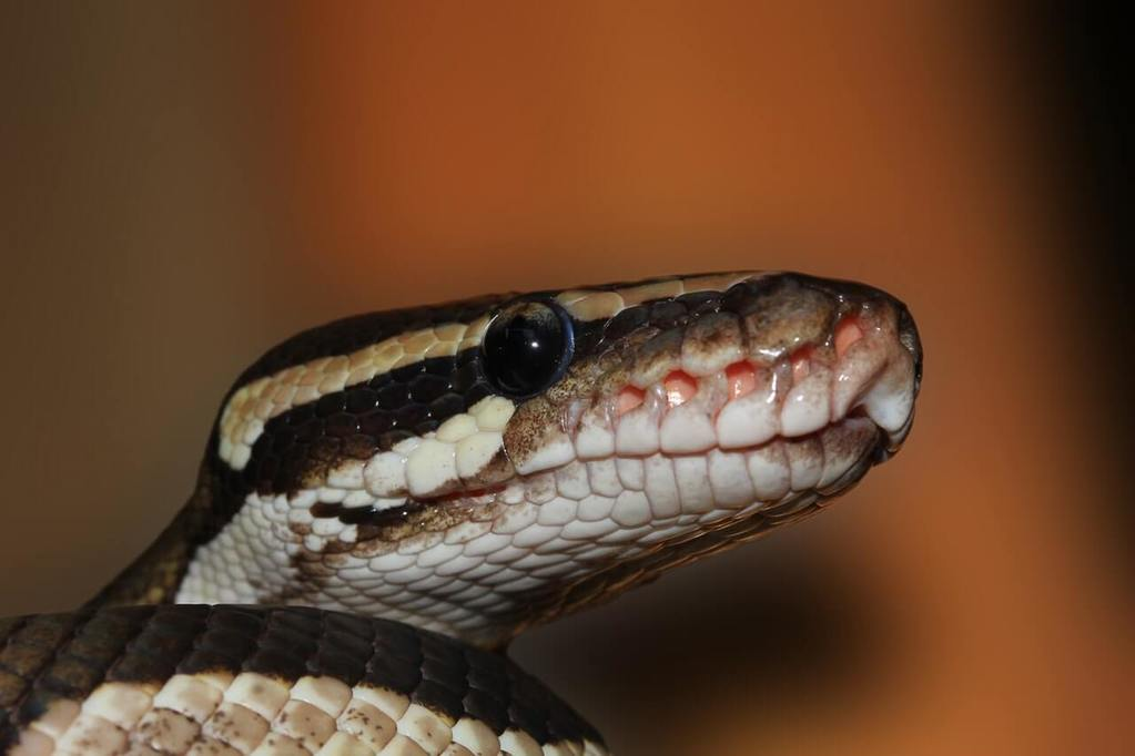 Your ball python is yawning why you should care about it - Bearded dragon yawn ...
