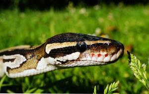 How big do ball pythons get