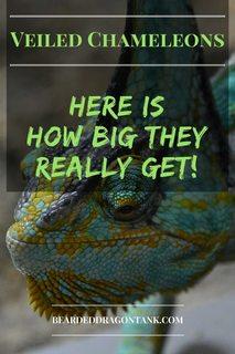How Big Do Veiled Chameleons Get