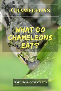 What Do Chameleons Eat