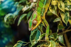 panther chameleon tank