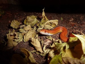 what humidity do corn snakes need