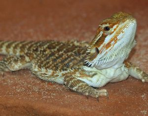 Bearded Dragon Shedding Process