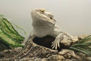 Bearded Dragon Mouth Rot Signs