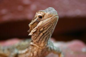 how fast do bearded dragons grow