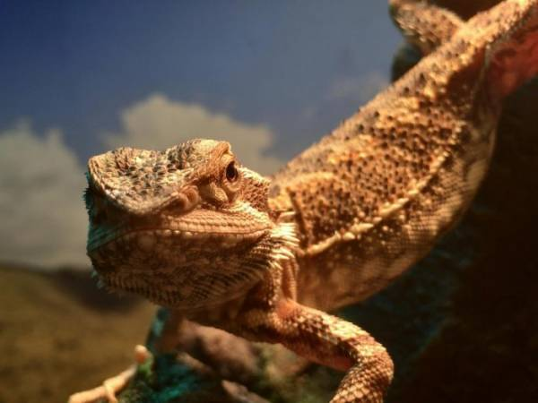 does a bearded dragon bite hurt