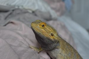 how to get a bearded dragon to get used to being handled