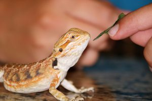 can a bearded dragon bite your finger off